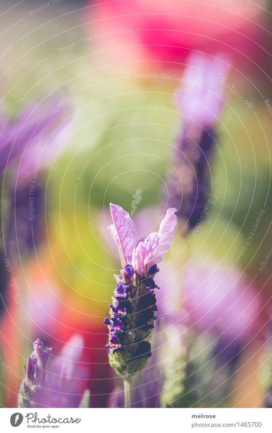 Sommerduft elegant Stil Geburtstag Natur Pflanze Schönes Wetter Blume Blüte Nutzpflanze Lavendel Blumenwiese Zierpflanze Heilpflanzen Wiese Duft Lavendelduft