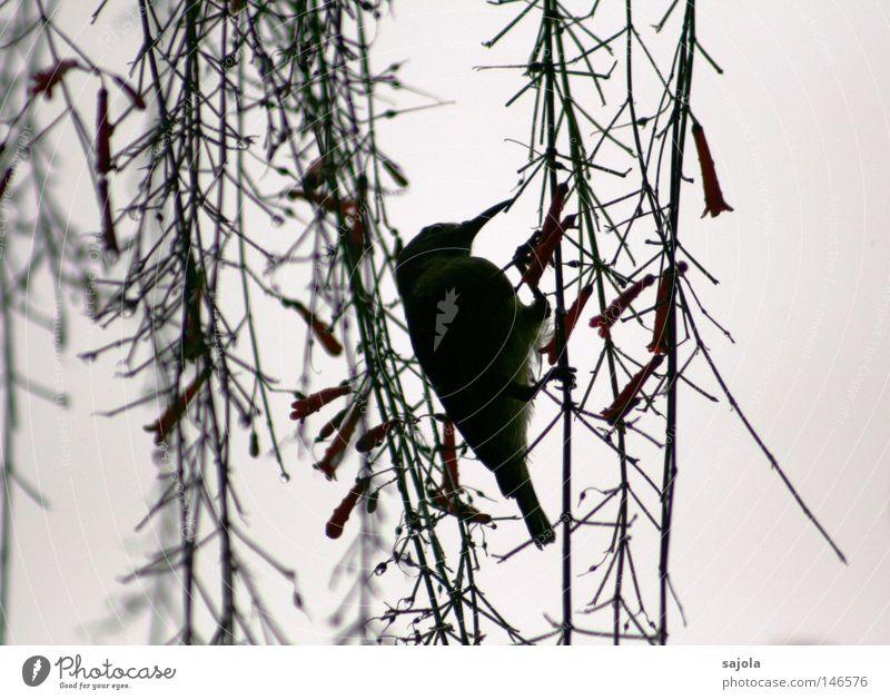 nektar grün Blume Tier Blüte Vogel Feder festhalten Hinterteil Asien Stengel Urwald hängen Fressen Schnabel Schwanz Singapore
