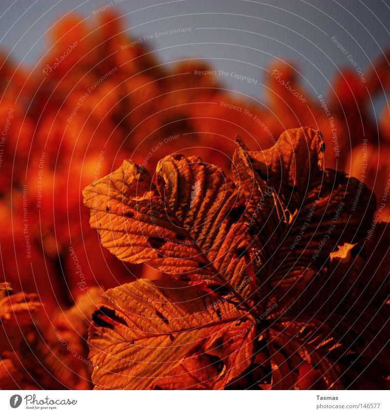 falsche Blume Herbst Baum Blatt orange rot Farbe Kastanienbaum Abend