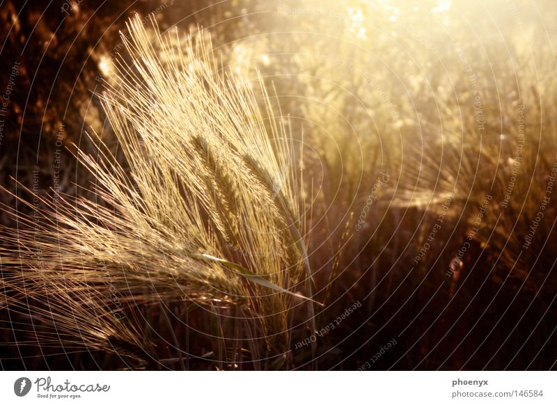Goldrausch gelb dunkel Herbst Wärme hell Beleuchtung Wind gold frei Physik Sturm Getreide Geborgenheit Gegenlicht