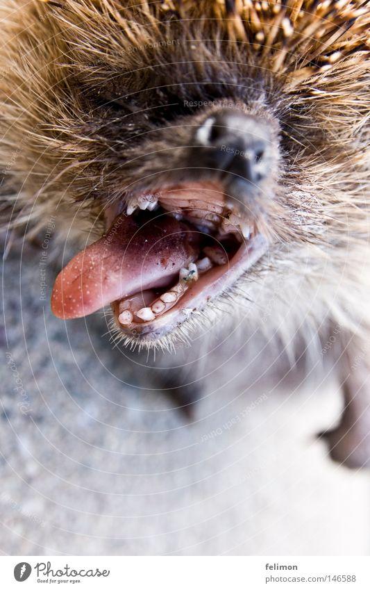 Alles zu spät.... Tier Tod Nase kaputt Asphalt Gebiss Fell Zunge Schnauze Maul Stachel Nasenloch Igel Mund Rachen Mundgeruch