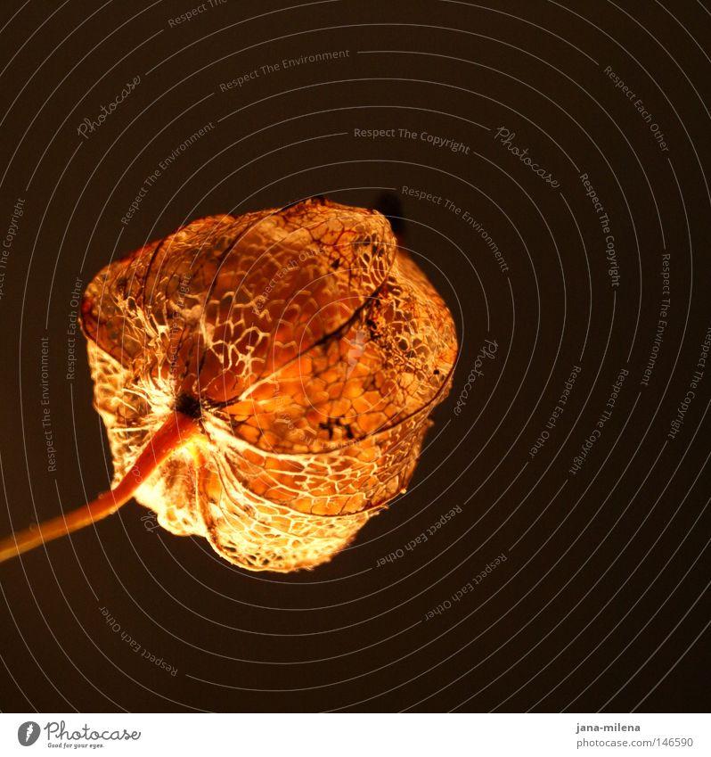 verletzlich. Pflanze Winter Einsamkeit schwarz dunkel Herbst Traurigkeit Lampe Beleuchtung orange Frucht gold Ordnung Gold leuchten Netzwerk