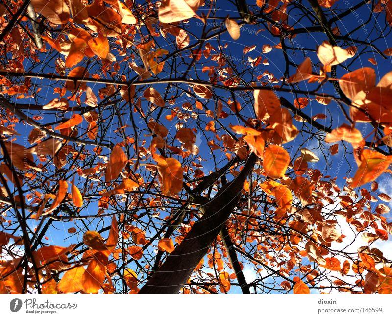 Das Wetter am 18.10. ... Himmel Baum blau Blatt Wolken Farbe Herbst braun gold Perspektive Vergänglichkeit Jahreszeiten aufwärts Baumstamm Geäst