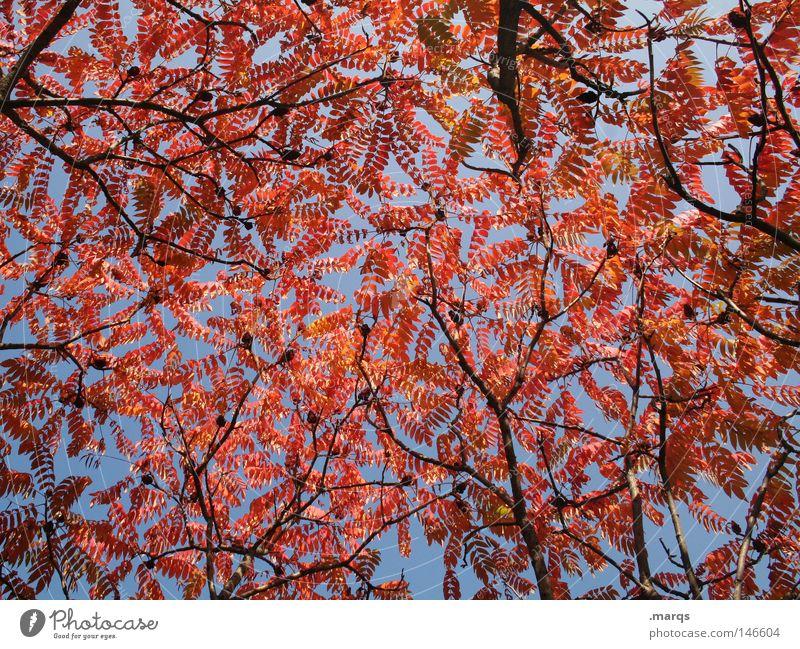 Errötet rot rund Oval Blatt Baum welk Herbst Pflanze Geäst Färbung Vergänglichkeit blau Ast Zweig Natur Himmel blätterdecke