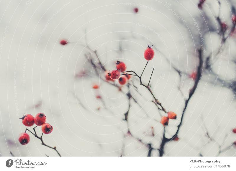 Beerenast Natur Pflanze Baum Sträucher Garten Park Duft gut rund saftig grau rot Beerensträucher Hagebutten Ast Makroaufnahme Düsterwald Farbfoto