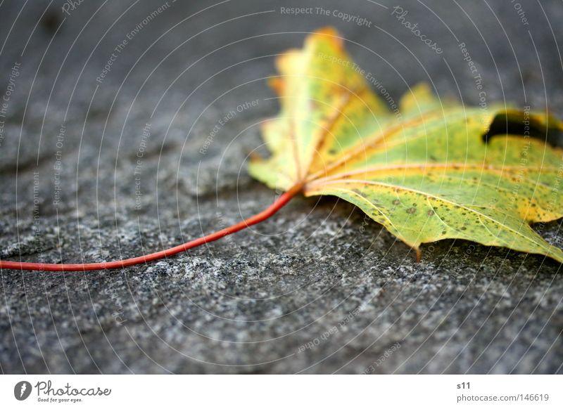 Autumn Herbstlaub Blatt Ahornblatt Baum Jahreszeiten kalt trocken verlieren Teer rot gelb grün Gefäße Photosynthese mehrfarbig Pflanze leicht Leichtigkeit
