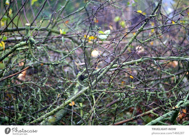 Geometrisch | -fraktaler Wirrwarr Umwelt Natur Pflanze Herbst Baum Ast Baumfällung Baumschnitt Garten dunkel nass stachelig trist unten braun gelb grün violett