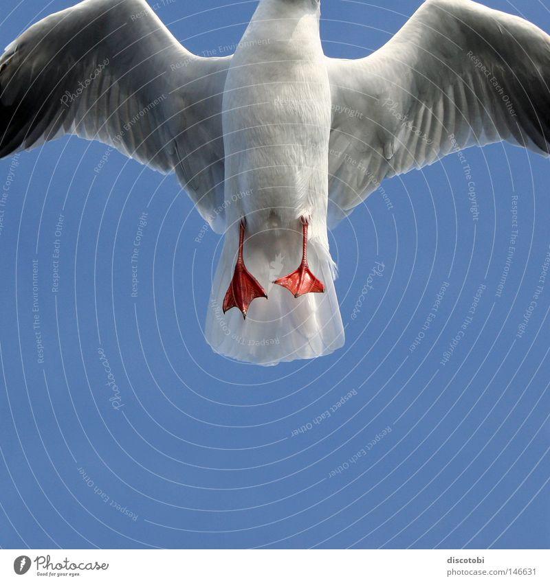Plattfuß-Möwe Luft Himmel Wolkenloser Himmel Sommer Vogel Flügel 1 Tier fliegen elegant blau grau rot weiß Vor hellem Hintergrund Anschnitt Bildausschnitt