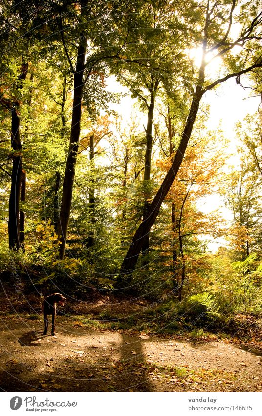 Bis bald im Wald! Baum Hund Sonnenuntergang Licht Blatt Herbst Jagdhund Pirsch Gegenlicht mehrere Holzmehl Schatten Natur deutsch kurzhaar viele forest dog Seil