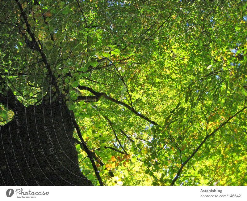 Dach Sommer Natur Wärme Baum Blatt Wachstum dunkel groß grün Perspektive Baumstamm Baumrinde Laubbaum Buche Geäst Zweige u. Äste Größe Farbfoto Blätterdach