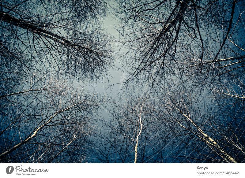Düsterwald - Baumkronen Umwelt Natur Himmel Winter Pflanze Wald Holz blau schwarz weiß karg Zweige u. Äste mystisch Außenaufnahme Menschenleer Tag