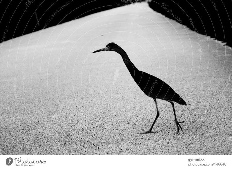 bird x-ing weiß schwarz Straße dunkel grau Wege & Pfade Vogel laufen gefährlich bedrohlich Konzentration Tier fokussieren