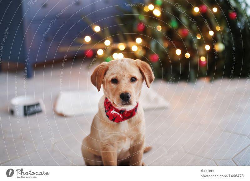 Fröhliche Waunachten Hund Tierjunges beobachten Blick sitzen frech Freundlichkeit natürlich Neugier niedlich Gastfreundschaft Wachsamkeit Gelassenheit