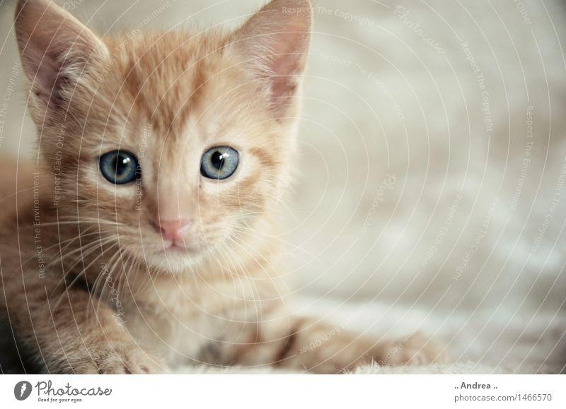 Fiffi 2 Haustier Katze 1 Tier beobachten Blick sitzen träumen Freundlichkeit orange rot Zufriedenheit cat roter Tiger rote Katze Tigerkatze Tigerfellmuster