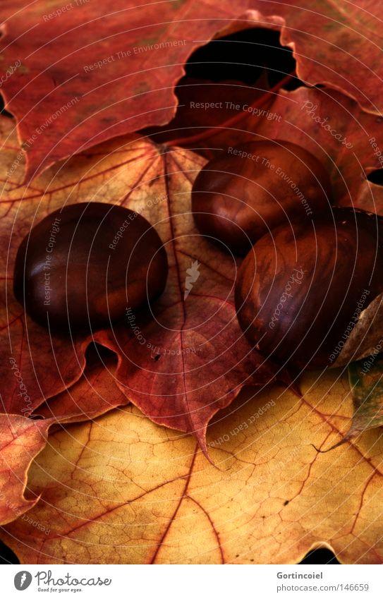 Autumn Umwelt Natur Pflanze Herbst Blatt dunkel braun gelb gold rot schwarz Farbe getrocknet vertrocknet Kastanie orange Gefäße Jahreszeiten Stillleben