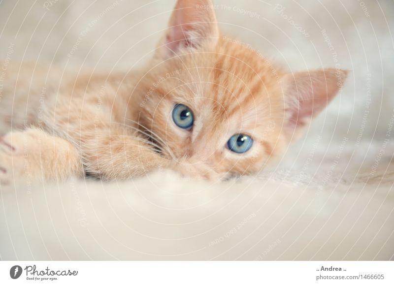 Fiffi Tier Haustier Katze Tiergesicht 1 Erholung liegen schlafen rot Zufriedenheit Tierliebe cat Tigerfellmuster Farbfoto Innenaufnahme High Key Totale
