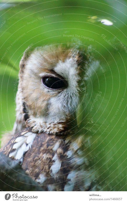 Waldkauz schaut hinter Blättern hervor Kauz Eulenvögel Eulenaugen beobachten Blick braun grün weiß verstecken Blick in die Kamera gefiedert Farbfoto