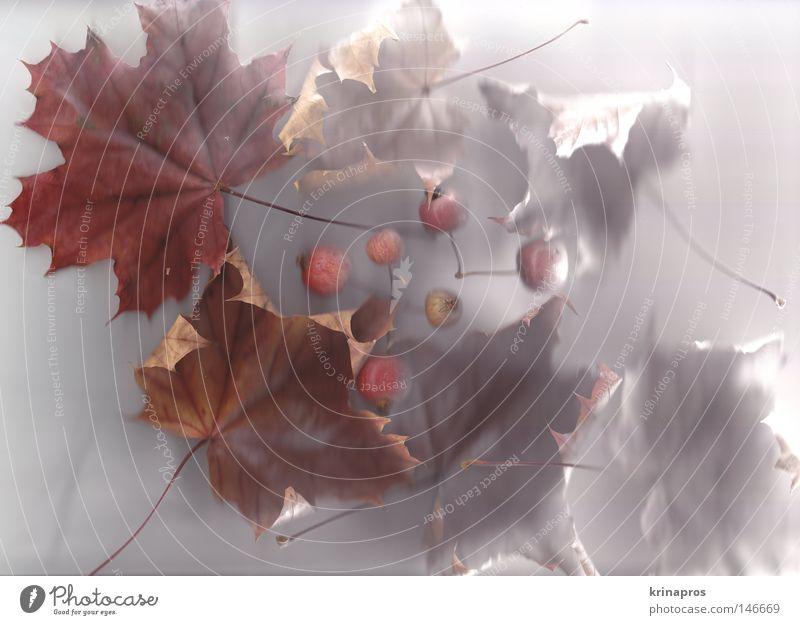 Mein Herbst Blatt authentisch Natur herbstlich kalt weiß Trauer rot braun mehrfarbig Raureif fallen Freude schön ästhetisch ruhig Einsamkeit Stillleben Licht