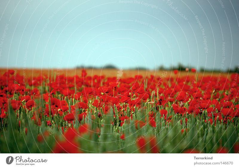 das.ist.luftholen. Mohn Feld Mohnfeld Blüte Sommer Duft Blumenwiese heiß vergangen Verliebtheit gewachsen durcheinander träumen traumhaft Natur Pflanze