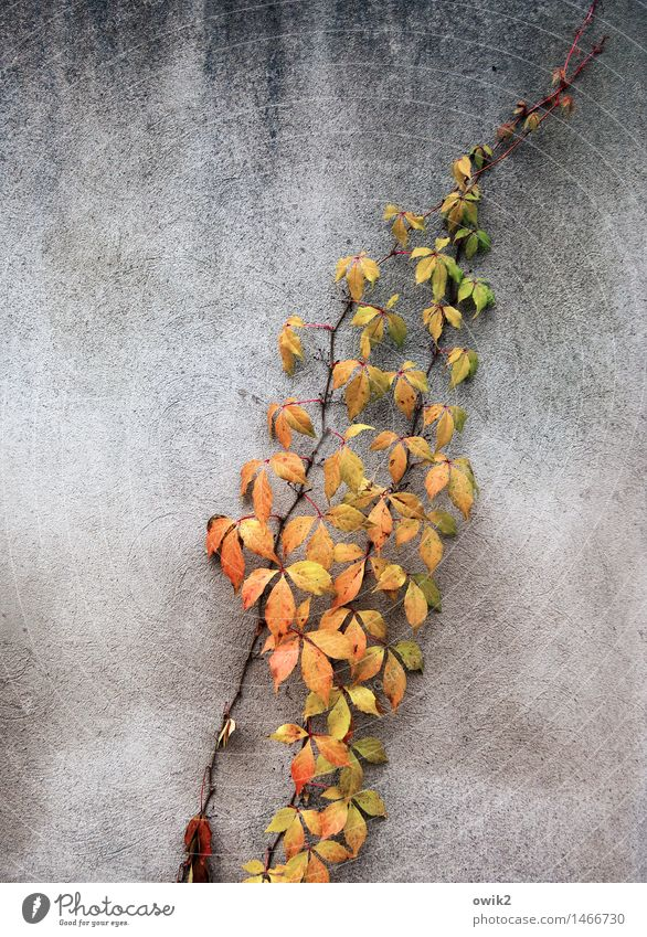 Herbstzweig Umwelt Natur Zweig Blatt Herbstlaub Herbstfärbung Mauer Wand verblüht dehydrieren Wachstum dünn authentisch Zusammensein natürlich mehrfarbig gelb