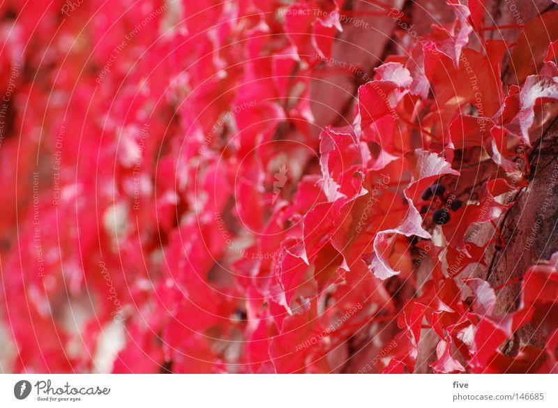 red wall Natur Pflanze rot Blatt Farbe Herbst Wand Jahreszeiten Oktober September