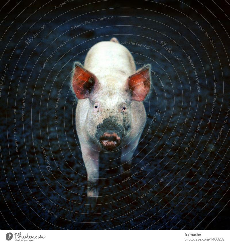 Bioschwein Natur blau grün Tier Umwelt Leben natürlich Glück klein rosa Feld dreckig authentisch niedlich Neugier Wunsch