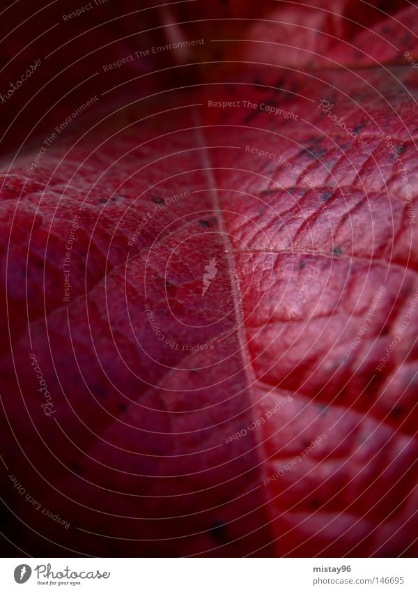 schön Pflanze rot Blatt schwarz Herbst Park