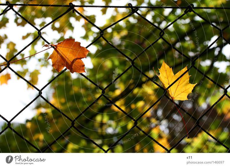 The Autumn Catch Herbst Jahreszeiten niedlich gelb grün Licht Physik lau fangen einfangen hängen Zaun Gartenzaun Baum Blatt Photosynthese Waldrand trösten