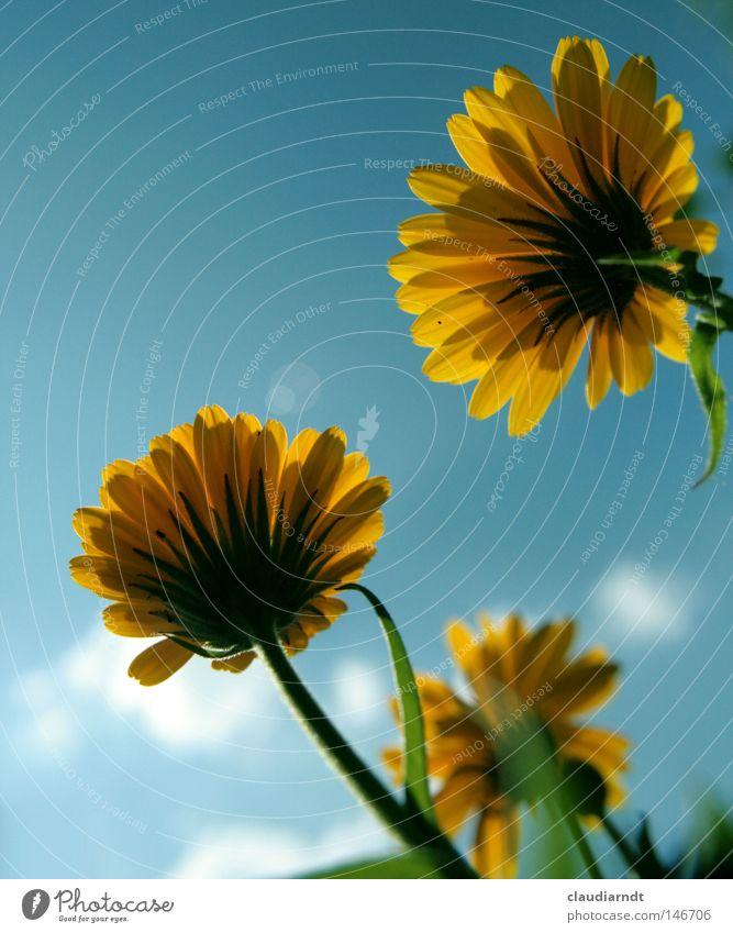 Flores Calendulae Blume Blüte Blühend Pflanze gelb Perspektive Heilpflanzen Ringelblume Alternativmedizin Pharmazie Käferperspektive Arzneipflanze Phytopharmaka