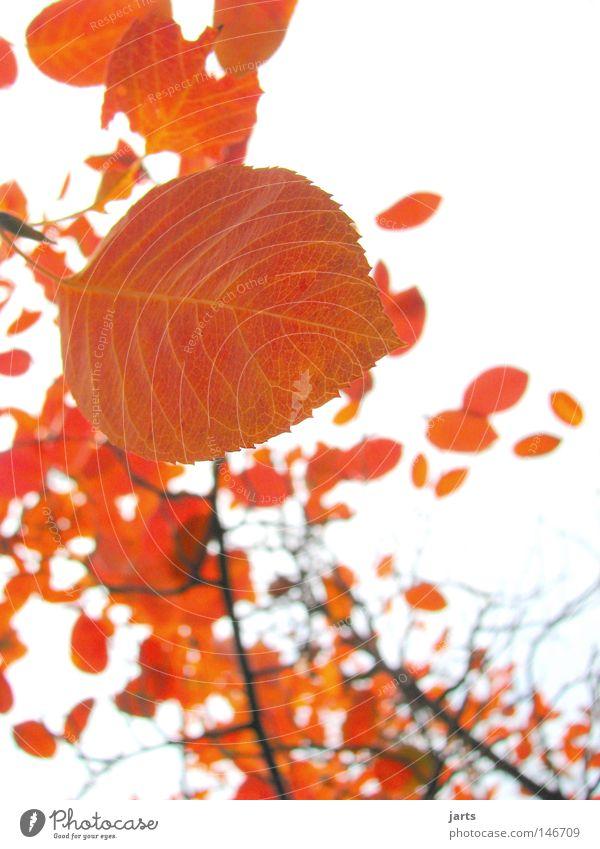 Blattgold Himmel Baum Blatt Herbst Wind gold Herbstwind