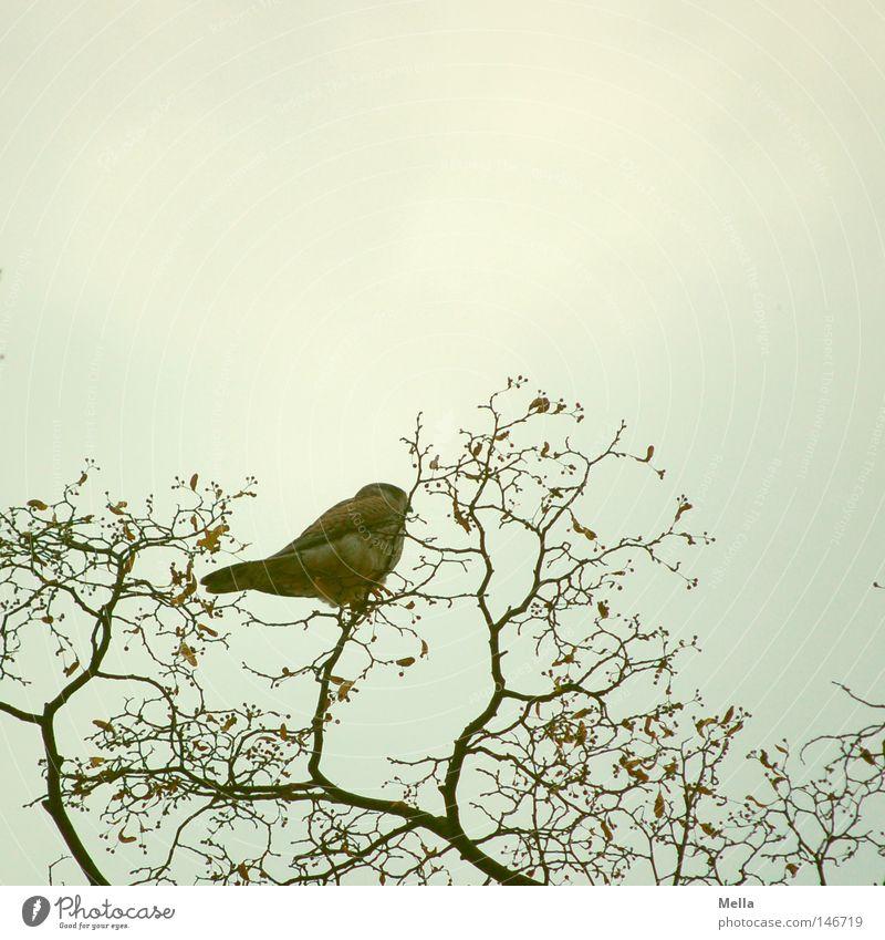 Falkenherbst Umwelt Natur Pflanze Tier Zweige u. Äste Vogel Turmfalke 1 hocken sitzen frei hoch natürlich oben grau Perspektive Baumkrone Aussicht Farbfoto
