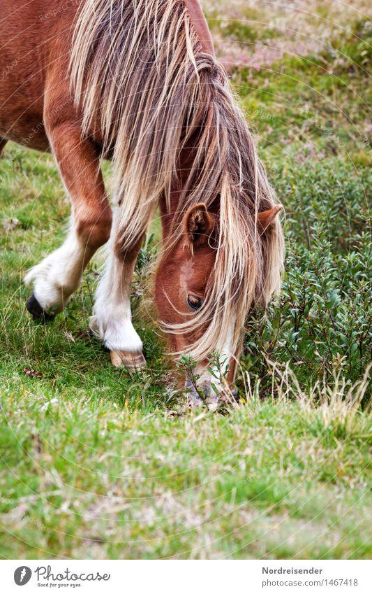 Isländer Freizeit & Hobby Reiten Landwirtschaft Forstwirtschaft Natur Sommer Gras Wiese Tier Nutztier Pferd 1 Fressen Freundlichkeit Tierliebe Gelassenheit