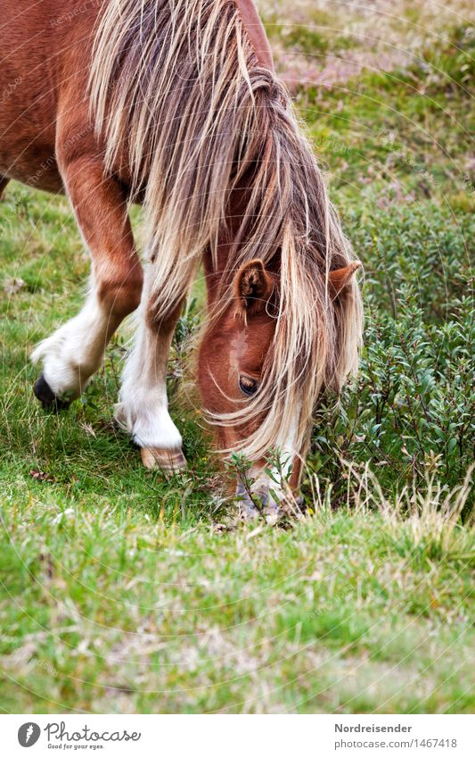 Isländer Natur Sommer ruhig Tier Leben Wiese Gras Freizeit & Hobby elegant Freundlichkeit Landwirtschaft Pferd Gelassenheit Weide Fressen Forstwirtschaft