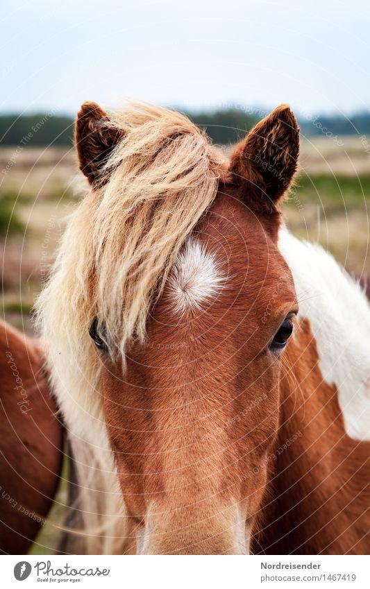 Isländer Natur Sommer Tier Wiese Perspektive beobachten Freundlichkeit Neugier Landwirtschaft Pferd Gelassenheit Vertrauen Interesse geduldig Forstwirtschaft