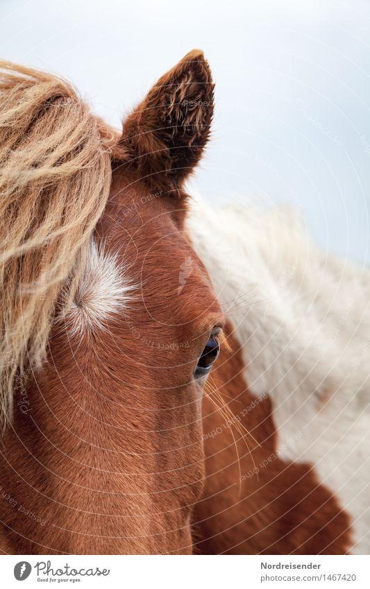 Isländer Freizeit & Hobby Reiten Landwirtschaft Forstwirtschaft Tier Nutztier Pferd 1 beobachten Freundlichkeit Neugier Tierliebe Gelassenheit ruhig Erwartung