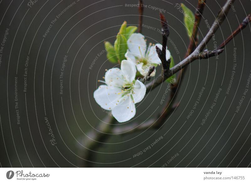 Apfelblüte Blüte Blume zart Natur Pflanze Frucht Kirsche Obstbaum Geäst Zweige u. Äste grün Frühling Blühend Leben unschuldig 2 Stock weiß Unschärfe