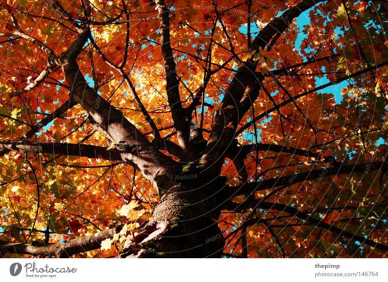 Zeichen der Vergänglichkeit Baum grün blau rot Blatt gelb Herbst Tod Holz braun Ast Jahreszeiten Baumrinde Geäst Maserung