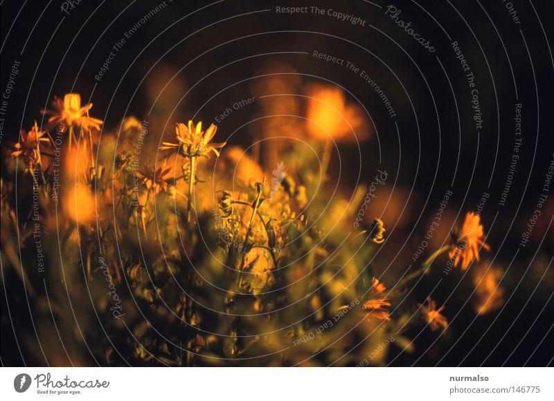 Nachtbuntblumen Blume Gartenbau Feuer Dia analog Unschärfe Natur schön Blatt Physik Wärme Herbst Erde Gärtner Blumenstrauß Ernte pflücken orange rot Farbe