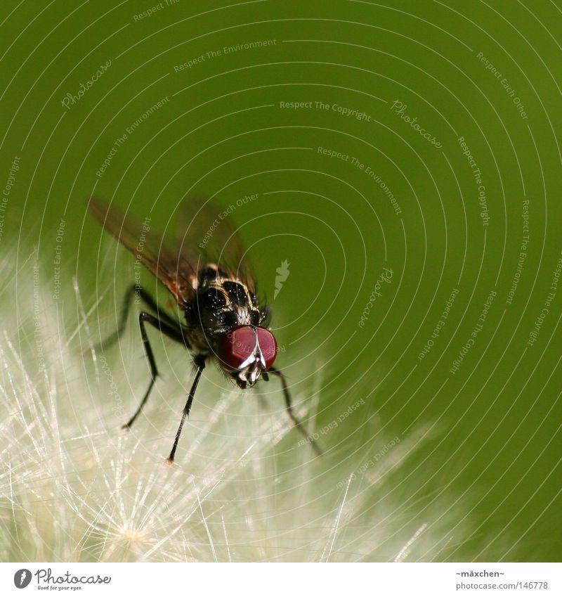 Zwischenlandung Fliege Makroaufnahme Insekt Löwenzahn grün Unschärfe Blende Tiefenschärfe Auge Beine Flügel Schweben gleiten festhalten Pause Erholung klein