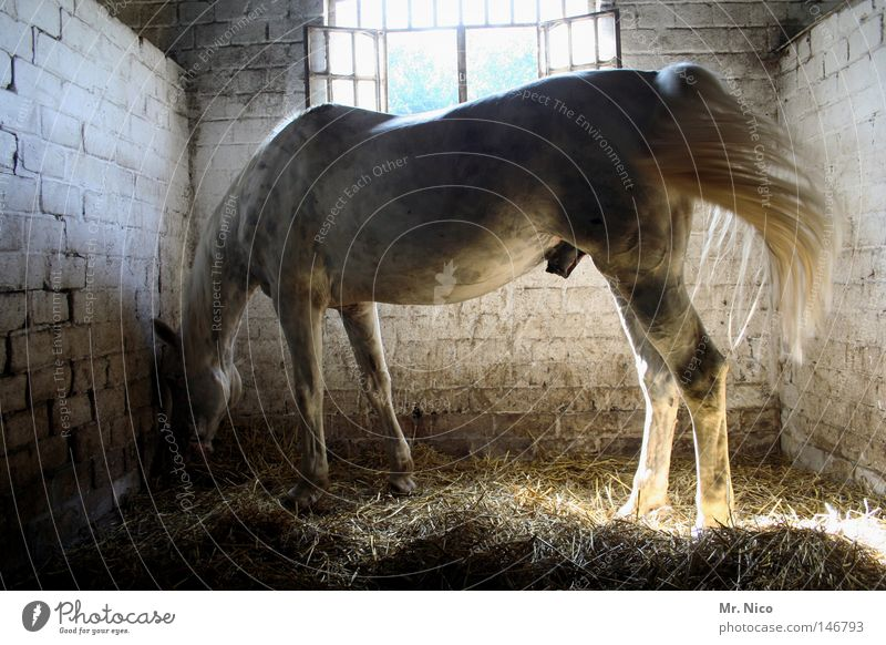 Sohn von Kleiner Onkel und Jolly Jumper Pferd Tier wiehern Mischling Stall Nutztier Haustier Ausritt Stroh Streu Appetit & Hunger Fressen Futter stehen dreckig