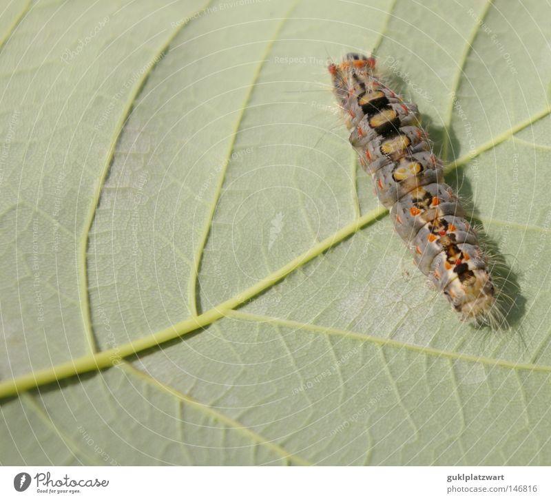 Wo gibt's was zu Essen? Natur Sommer Blatt Tier Leben Biologie Schmetterling Lebewesen Kokon Umweltschutz Entwicklung Raupe Evolution Larve Ahornblatt