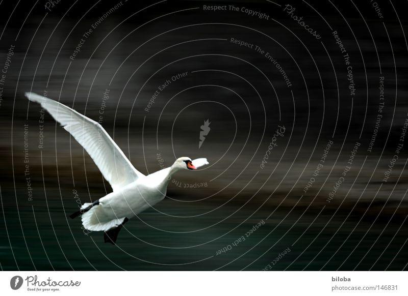 Schwan 100 landet Federvieh Hals lang weich ästhetisch Anmut Flamingo Alken Möwenvögel Entenvögel fliegen elegant Flügel schwarz weiß Vogel Wasser Gischt