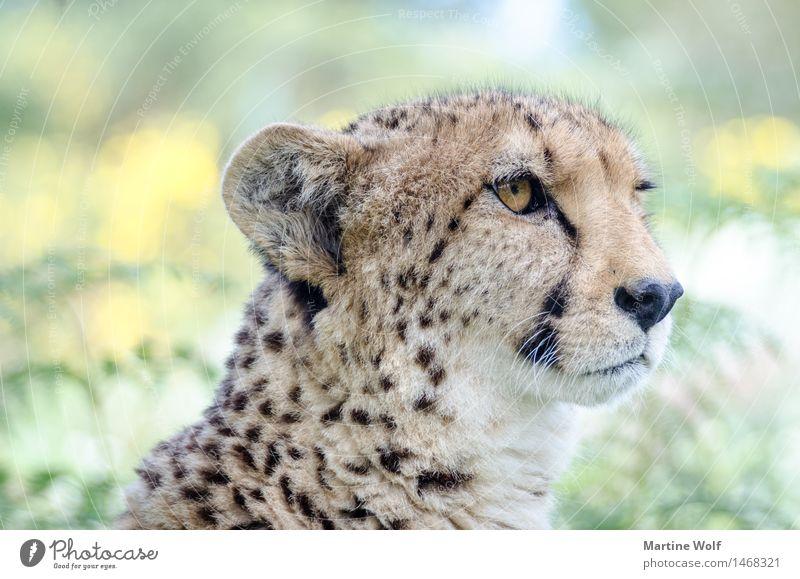 Cheetah Tier Wildtier Katze 1 schön Natur Afrika Gepard Südafrika Anmut Westcap Wildkatze Außenaufnahme Tag Schwache Tiefenschärfe Tierporträt Halbprofil