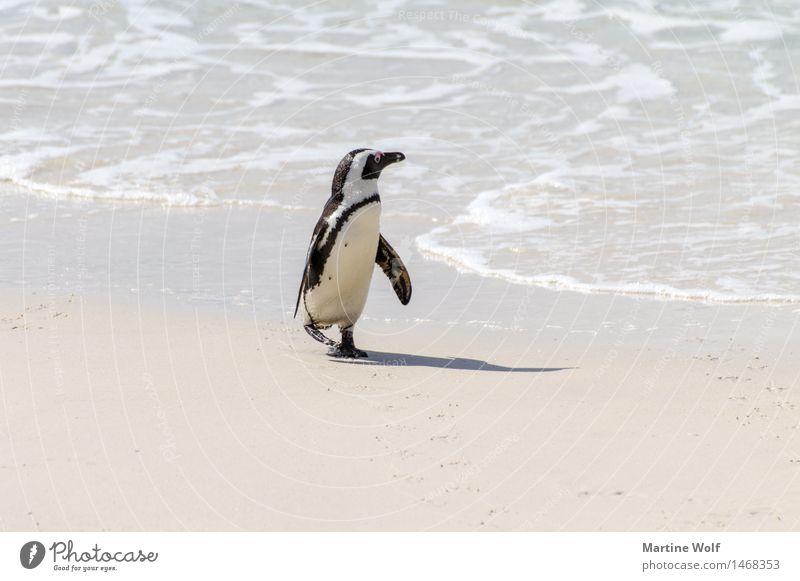 Landgang Wellen Küste Strand Meer Indischer Ozean Tier Wildtier 1 Einsamkeit Natur Neugier Optimismus African Pinguin Afrika Brillenpinguin Jackass Pinguin