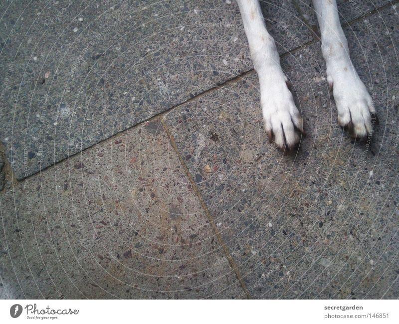 schräge nummer mit hund. Hund Pfote weiß Tier Bürgersteig Stadt Haustier groß Zufall Wunsch betteln Erholung unten gehorsam Säugetier Platz grau trist Trauer