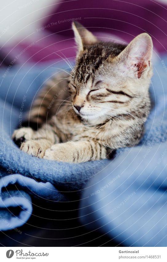 Mup Katze Erholung ruhig Tier Tierjunges schlafen Fell Haustier Tiergesicht gemütlich Pfote kuschlig Katzenbaby Tigerfellmuster Tigerkatze