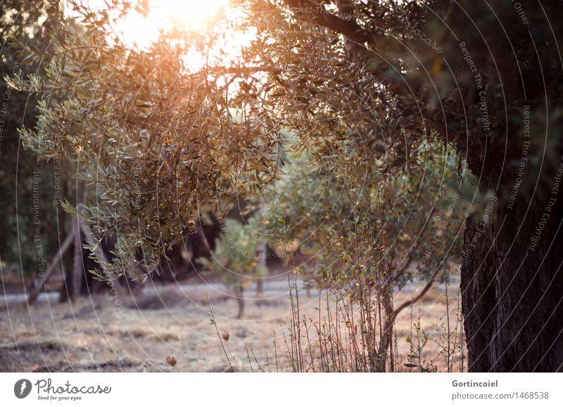 Olea europaea Natur Landschaft Pflanze Sonnenaufgang Sonnenuntergang Sommer Baum Nutzpflanze Garten Wärme Olivenbaum Olivenhain Olivenblatt Türkei Ägäis Foca