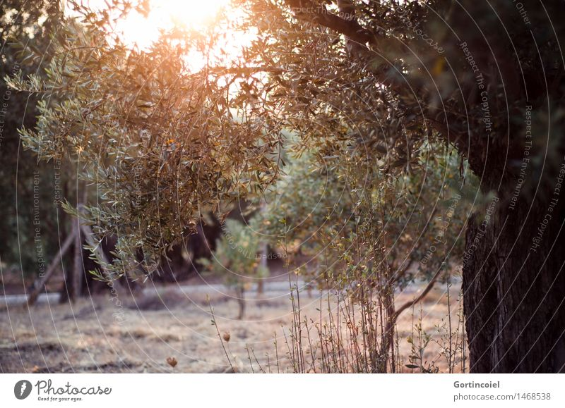 Olea europaea Natur Pflanze Sommer Baum Landschaft Wärme Garten Nutzpflanze Türkei Oliven Olivenbaum Olivenhain Olivenblatt Ägäis