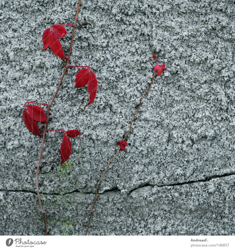 Wein Pflanze rot Herbst Wand Mauer Beton Fassade Klettern wild verfallen Ruine Riss Putz Gegenteil Ranke