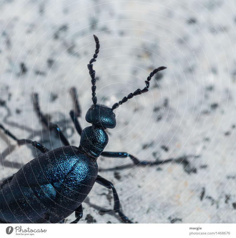 Käfer Karl Tier 1 krabbeln blau türkis weiß achtsam Neugier Interesse Abenteuer exotisch Suche Fühler Schalenweichtier Käferbein Insekt Farbfoto Gedeckte Farben